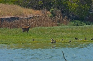 Blacktail Deer on Reclamation Island, photo Cokie Lepinski